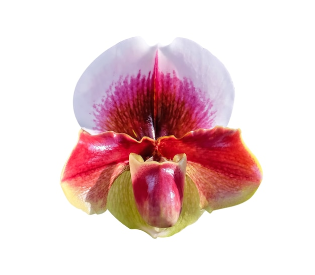 Hoofd van kleurrijke rode bloemen paphiopedilum natuurlijke sierpatronen bloeien geïsoleerd op een witte achtergrond