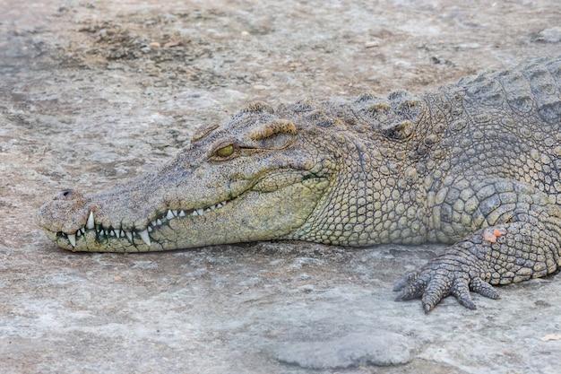 Hoofd van krokodil, alligator