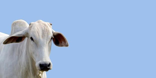Hoofd van nelore-vee, met blauwe hemelachtergrond en ruimte voor tekst.
