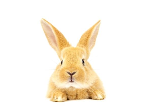 Hoofd van pluizig gember konijn geïsoleerd op wit. mooie ogen. pasen concept.