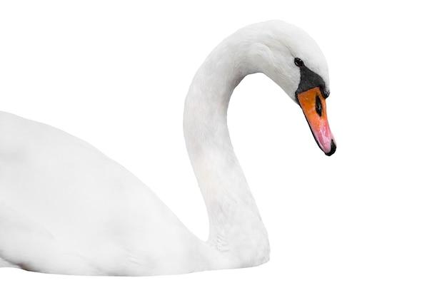 Hoofd van witte zwaan geïsoleerd op wit, zwaan portret