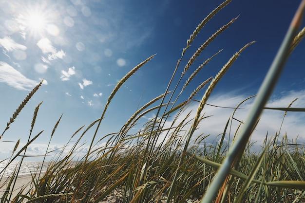 Hoog gras bij de zee tegen de achtergrond van de zon en de blauwe lucht