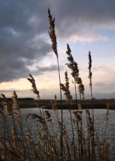 Hoog gras bij zonsondergang