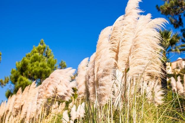 Hoog vet wit riet achtergrond de blauwe hemel