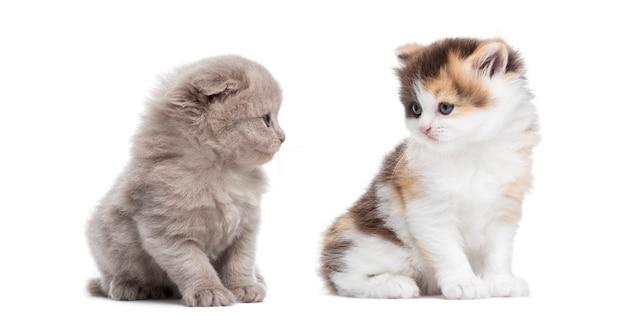 Hoogland rechtstreeks en vouwen katjes zitten kijken elkaar geïsoleerd op wit