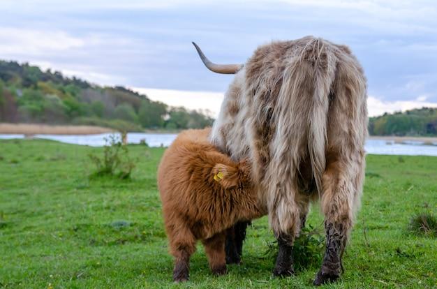 Hooglandvee, kalf haalt melk van zijn moeder. groene weide, vers gras weiden.