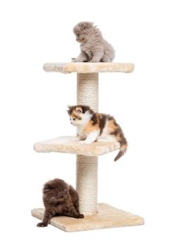 Hooglandvouwen en rechte katjes die op een kattenboom spelen die op wit wordt geïsoleerd
