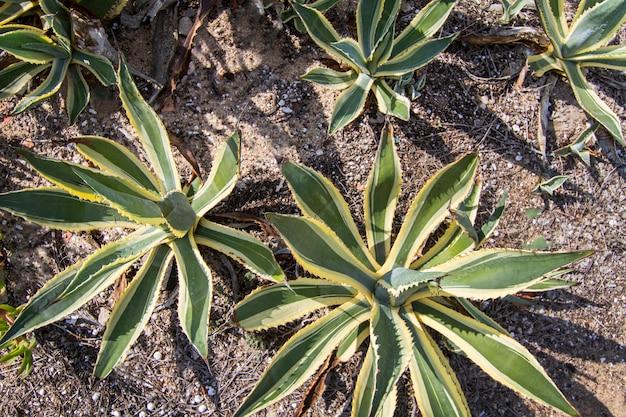 Hoogste mening van een bos van agave cactusinstallaties op een tuin.
