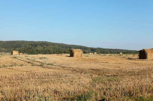 Hooibergen in een veld met stro - een landbouwveld, dat stro hooibergen bleef na de tarweoogst