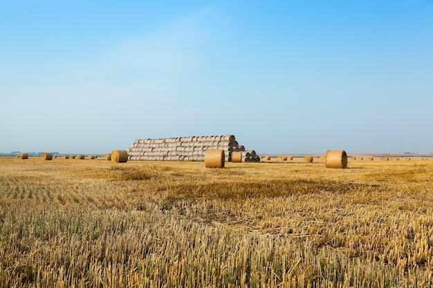 Hooibergen in een veld met stro - een landbouwveld waarop hooibergen stro liggen na het oogsten van tarwe