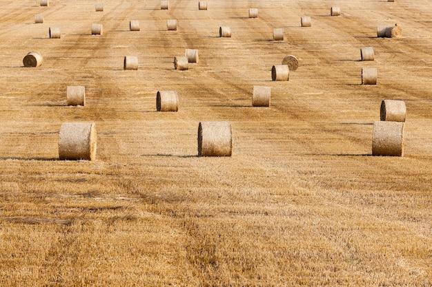 Hooibergen in een veld met stro - een landbouwveld waarop na de oogst stro hooibergen liggen, een kleine scherptediepte