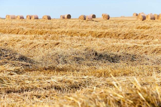 Hooibergen in een veld met stro - een landbouwveld waarop stro hooibergen worden aangelegd na de oogst van granen, tarwe