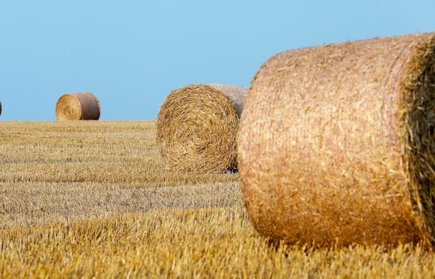 Hooibergen in een veld van stro een landbouwveld waarop hooibergen stro liggen na het oogsten van tarwe
