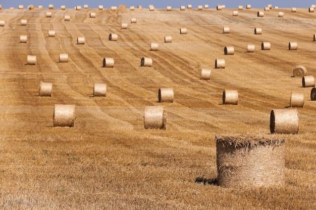 Hooibergen in een veld van stro hooibergen stro achtergelaten na het oogsten van tarwe Premium Foto