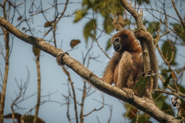Hoolock gibbon hoog op een boom wilde indische aap in het indiaanse bos
