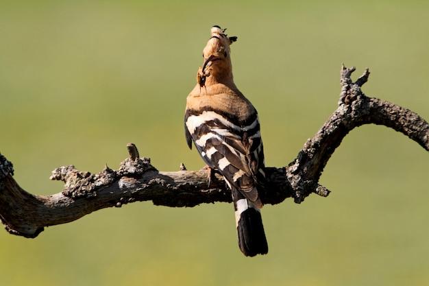 Hop met een insect bij zijn nest, upupa epops