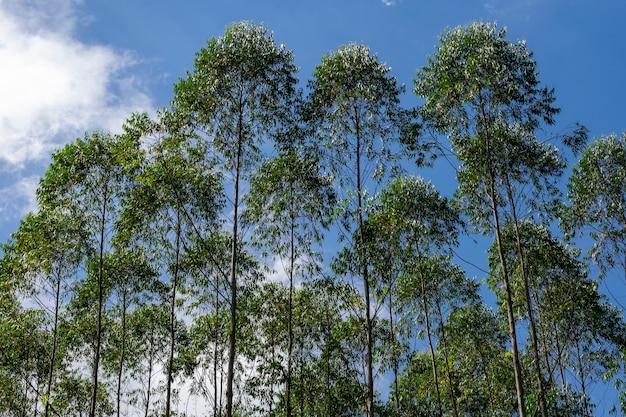 Horizontaal beeld van eucalyptusplantage