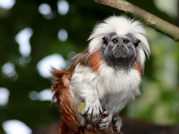 Horizontaal close-upschot van een witte en bruine aapzitting op de boomtak