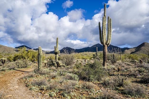 Horizontaal schot van cactussen in steppe onder blauwe bewolkte hemel