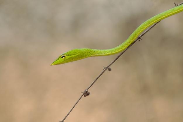 Horizontaal schot van een kleine groene slang op een dunne brunch van de boom
