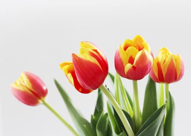 Horizontaal schot van mooie rode en gele tulpen die op een witte achtergrond worden geïsoleerd