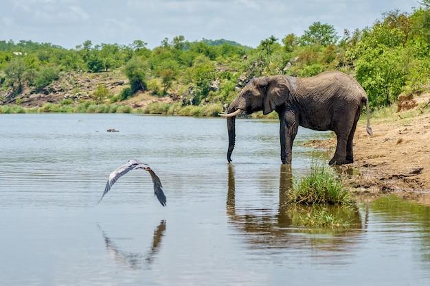 Horizontaal schot van vogels en een olifant dichtbij het drinkwater van een meer, omgeven door groene natuur