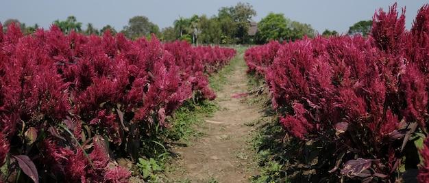 Horizontale afbeelding van mooie rode of roze hanekam celosia bloemen boerderij met blauwe lucht.
