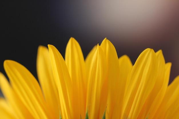 Horizontale close-up shot van een zonnebloem bloemblaadjes op een onscherpe achtergrond