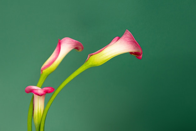 Horizontale minimalistische foto van drie roze calla bloemen op green.