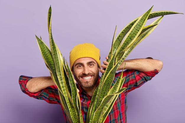 Horizontale opname van gelukkige ongeschoren man bloemist houdt handen op sansiveria, draagt gele hoed en geruit overhemd, groeit kamerplant thuis, geïsoleerd op paarse achtergrond.