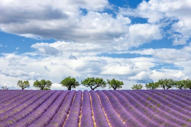 Horizontale weergave van lavendelveld, frankrijk, europa