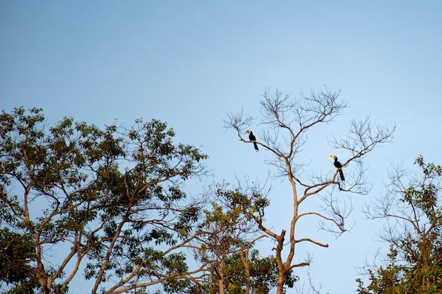 Hornbills zat op hoge bomen