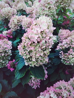 Hortensia bloeit in de avondtuin
