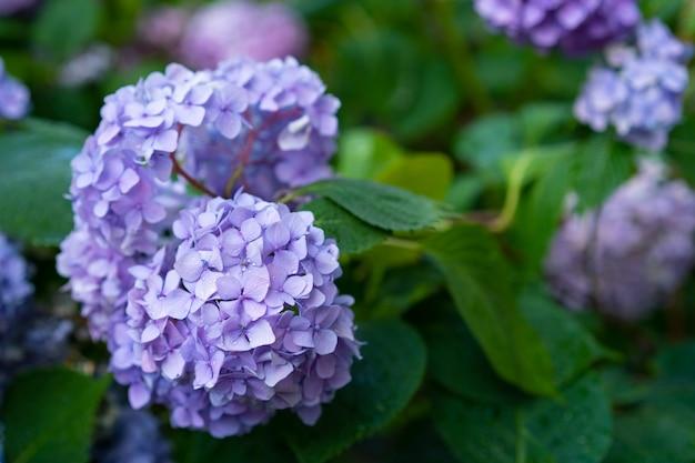 Hortensia bloeit in de tuin