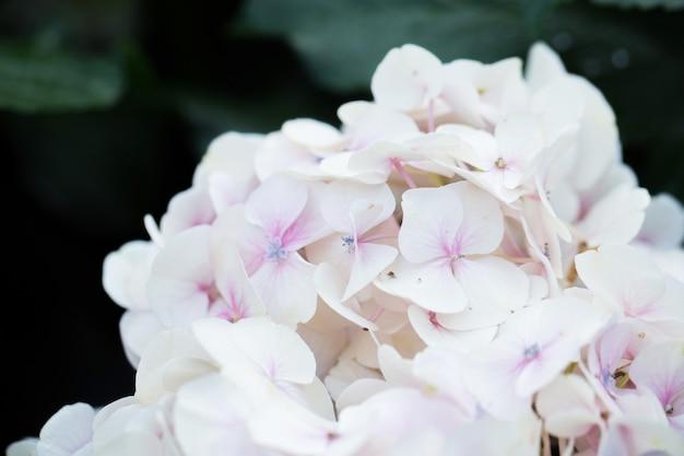 Hortensia bloem in pasteltint