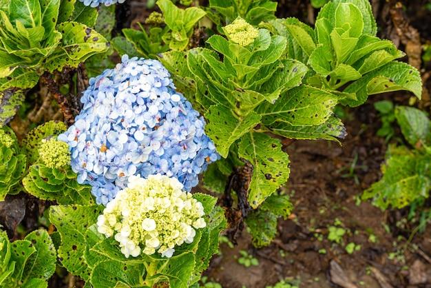 Hortensia gemeenschappelijke namen hortensia of hortensia natuurlijke bloemen achtergrond lentebloemen