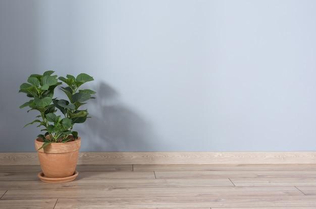 Hortensia in terracotta potten op houten vloer binnen