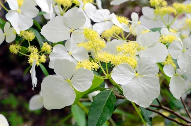 Hortensia luteoveosa Premium Foto