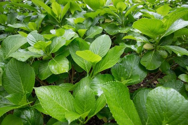 Hortensia plantenbladeren
