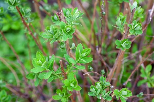 Hortensiastruik deel van hortensiastruik zonder bloemen en jong groen blad op dunne bruine takken ...