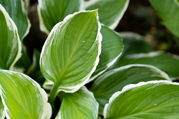 Hostaplant in de tuin. grote groene bladeren hosta.closeup groene bladeren achtergrond.