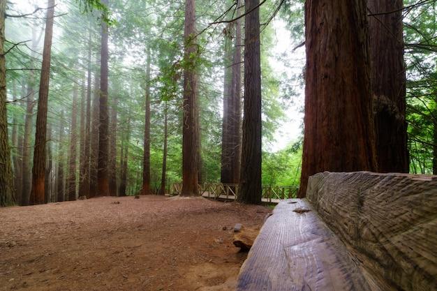 Houten bank in gigantisch sequoiabos op bewolkte dag met mist