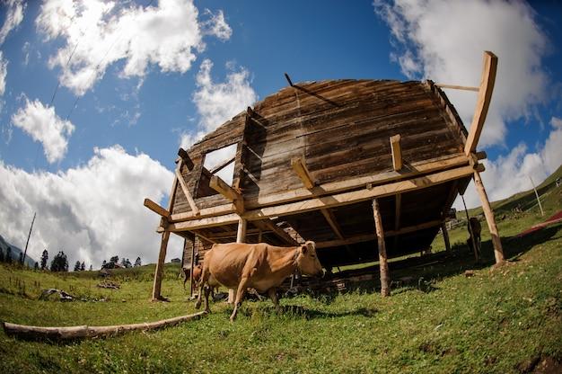 Houten gebouw met een bruine koe in de buurt