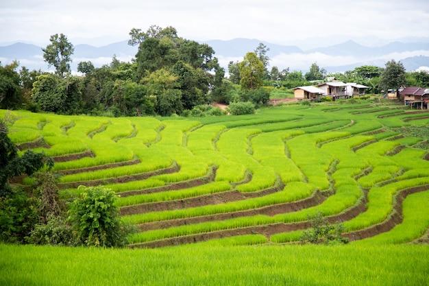 Houten huis in een terrasvormig rijstveld gevuld met rijst