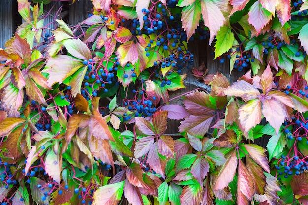 Houten rooster met rode bladeren van wilde druiven.
