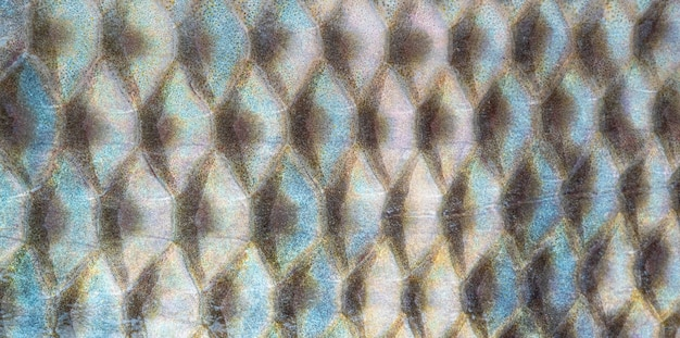 Huid van nlie tilapia. achtergrond. patroon. macro-opname van de huid van tilapiavissen. huid van nlie tilapia.