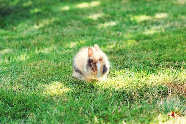 Huis decoratief konijn buitenshuis. leuk klein konijntje. leuk dwerg decoratief pluizig konijn. konijntje op groene grasachtergrond. symbool van pasen. pluizig huis huisdier op een wandeling. paashaas.