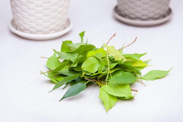 Huis planten op een houten tafel. hobby, zorg, snoeien concept. cultiveert ficus. bladeren snijden.