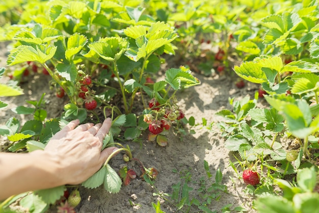 Huis tuin aardbeien, struiken met bessen. de teelt van biologisch voedsel, hobby's