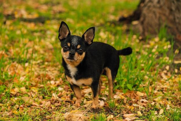 Huisdier hond chihuahua loopt op straat. chihuahua hond voor een wandeling. chihuahua zwart, bruin en wit. schattige puppy vroeg in de ochtend op een wandeling. hond in de herfst wandelingen in de tuin of in het park